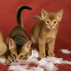 Kitten List Usual Abyssinian Kittens