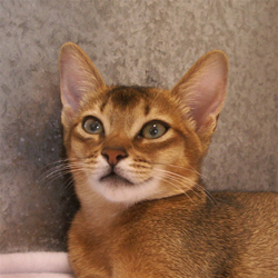 Pontaby Sognastella, Usual Abyssinian