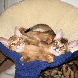 Sorrel and Usual Abyssinian
